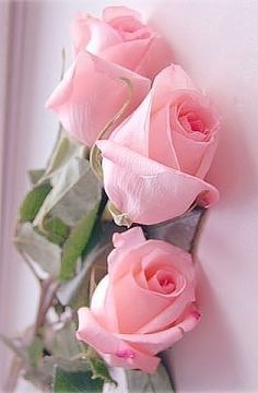 Image discovered by Альбина Виговская. Find images and videos on We Heart It - the app to get lost in what you love. Beautiful Flowers Wallpapers, Beautiful Rose Flowers, Love Rose, Amazing Flowers, Pretty Flowers, Pink Flowers, Flower Images, Flower Photos, Rose Flower Wallpaper