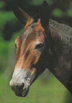 mule: this one is not mine but he is a close look a like for my mule Fred (when he was 10 instead of 20 years old)