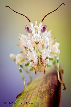 "Pseudocreobotra wahlbergi   (Spiny flower mantis)  <a href=""http://www.marcofischerphoto.com"">MARCOFISCHERPHOTO</a> <a href=""http://www.creative-macros.com"">CREATIVE-MACROS</a> <a href=""http://www.facebook.com/marcofischerphoto"">FACEBOOK</a> <a href=""http://marco-fischer.pixels.com"">ARTSHOP</a>"