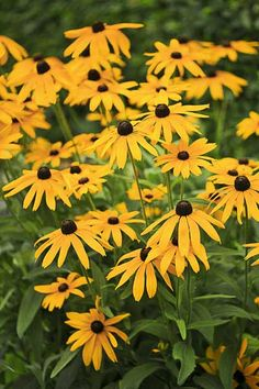 (Rudbeckia) With their daisy-like flowers, tolerance for drought, and months of bloom, these natives deserve their rep as must-haves for the fall garden.