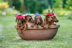Dachshund – Friendly and Curious Arte Dachshund, Dachshund Puppies, Weenie Dogs, Dachshund Love, Cute Puppies, Cute Dogs, Dogs And Puppies, Daschund, Doggies