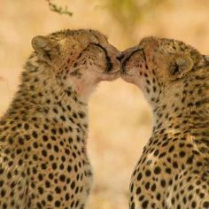 cheetah kiss <3