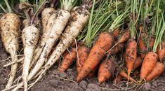 Kým budú všetci sadiť priesady, vy už budete zberať úrodu: Vysaďte po lete tieto druhy a na jar sa máte na čo tešiť! Carrots, Gardening, Vegetables, Green, Food, Lawn And Garden, Essen, Carrot, Vegetable Recipes