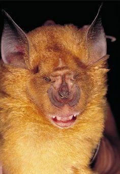 Sakeji Horseshoe Bat, Rhinolophus sakejiensis