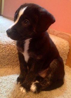 Tux is a German Shepherd / Black Labrador mix