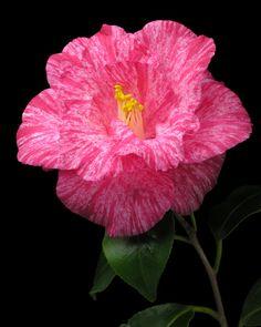 Camellia japonica 'Sôshi-arai' (Japan, 1841)