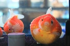 Gold Fish-Pearl Scale