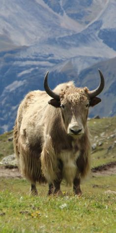 Nepal, Annapurna Circuit Trek, Yak Jungle Animals, Farm Animals, Animals And Pets, Cute Animals, Animal 2, Animal Heads, African Buffalo, Musk Ox, Cute Cows