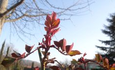 Une promesse de rose en mars 2013 / First leaves on a rose bush in march 2103