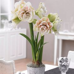Amaryllis Nymph have a light fragrance and a slight lemon-lime glow; #Amaryllis