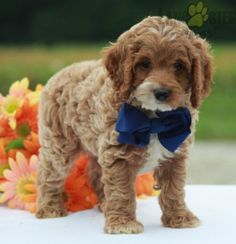 Elliot - Cockapoo Puppy for Sale in Walhonding, OH | Lancaster Puppies Cockapoo Puppies For Sale, Lancaster Puppies, Dogs, Animals, Animales, Animaux, Pet Dogs, Doggies, Animal