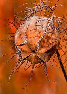 Nigella seed pod -- Nigella Embers by Sarah-fiona Helme