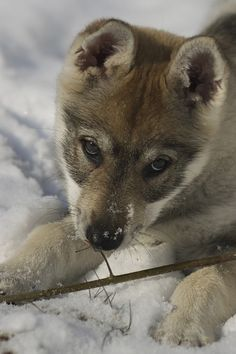 Harro, little wolf ruffs you.