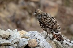 Himalayan Monal - Lophophorus impejanus - olśniak himalajski