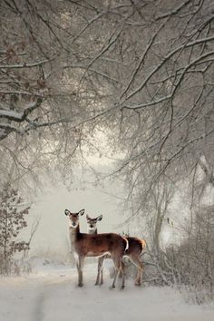 deer in the winter snow Winter Szenen, Winter Magic, Winter Time, Nature Animals, Animals And Pets, Cute Animals, Beautiful Creatures, Animals Beautiful, Mundo Animal