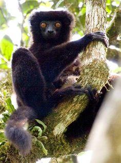 152 Best Animals- lemurs, tarsias, loris, sifaka, colugos ...