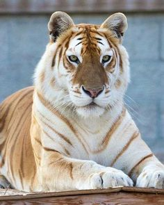 Meet the rare GOLDEN TABBY TIGER! This majestic animal is also known as a golden tabby tiger or strawberry tiger. This majestic cat has a… Pretty Animals, Cute Funny Animals, Cute Baby Animals, Majestic Animals, Rare Animals, Animals And Pets, Royal Animals, Big Animals, Beautiful Cats