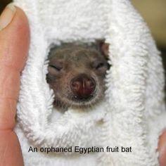 An orphaned Egyptian fruit bat being raised at Bat World Sanctuary