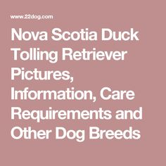 Nova Scotia Duck Tolling Retriever Pictures, Information, Care Requirements and Other Dog Breeds