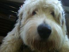My Harvey, Old English Sheepdog and Irish Wolfhound.