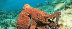 MIT-Forscher ahmen die Tarnungsfähigkeiten des Kraken nach