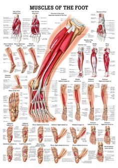 Muscles of the Foot Chart Resource