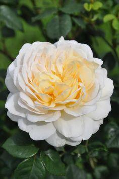 'Crocus Rose'    Shrub.  English Rose Collection. Bred by David C. H. Austin (United Kingdom, 2000)   Flickr - © Mimmi Elg