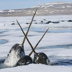 Narwhals / Paul Nicklen