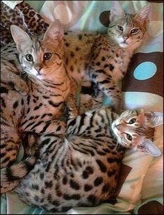 Beautiful Bengal kitties.