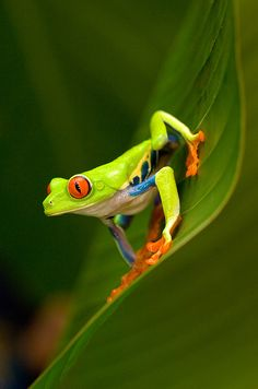 Close-up Of A Red-eyed Tree Frog b