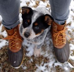 I want another red heeler! This one is a blue heeler.
