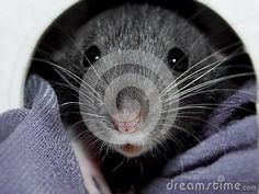 Photo about A close-up view of a inquisitive baby Dumbo rat peeking out of its bed. Image of inquisitive, rodent, eyes - 148518494 Baby Dumbo, Dumbo Rat, Rodents, Guinea Pigs, Rats, Mammals, Cute Animals, Horses, Stock Photos