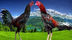 Ayam Juara: Pukulan Ayam Bangkok yang Mematikan