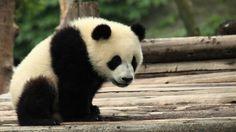 Los pandas gigantes sufren un mayor estrés por el cambio climático