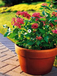 Plant a Butterfly Magnet  Simple and eye-catching, the color and shape of the container is perfect for pentas plants, which no butterfly can resist.  A. Pentas 'Butterfly Red' -- 3