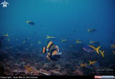 Titan Trigerfish