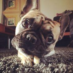 'Mogwai',  The French Bulldog.