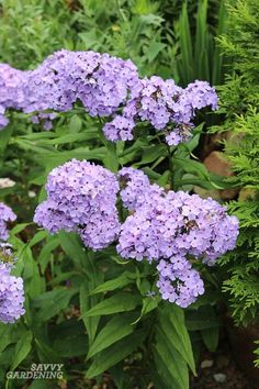 Perennial Flowers: 24 Brilliant Choices for Gardens Add a splash of color to garden beds with these beautiful purple perennial flowers.Add a splash of color to garden beds with these beautiful purple perennial flowers. Purple Flowering Plants, Purple Perennials, Flowers Perennials, Tall Perennial Flowers, Perennials Fabric, Tall Flowers, Hardy Perennials, Growing Flowers, Container Gardening