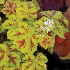 Heucherella Yellowstone Falls - GardenExpert.ro
