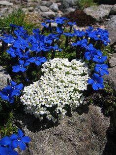 Rock Flowers, Blue Flowers, Wild Flowers, Unusual Flowers, Amazing Flowers, Beautiful Flowers, Alpine Garden, Alpine Plants, Alpine Flowers