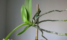 Propagating orchids from keikis is a lot simpler than it might sound!ve identified a keiki growing on your orchid, there are only a few simple steps required to replant your new baby orchid successfully. Learn more in this article. Orchid Plant Care, Orchid Plants, All Plants, Indoor Plants, Potted Plants, Water Culture Orchids, Orchids In Water, Roses In Potatoes, Orchid Propagation
