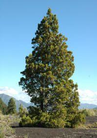 Austrocedrus chilensis - CIPRÉS DE LA CORDILLERA Chile, Christmas Tree, Holiday Decor, World, Plants, Geo, Landscapes, Trees, Tattoo