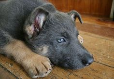 A blue German Shepherd. Looks exactly like my blue girl Poet. Wish I had her as a pup