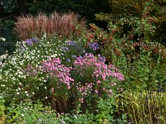 442098 - Asters (Aster), apple (Malus) and Chinese silver grasses (Miscanthus)