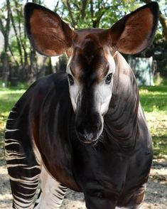 ♻️ 📱 We are celebrating #WorldOkapiDay at Brookfield Zoo this Saturday, October 13. Bring an old cell phone to recycle and help wild okapi, catch an okapi Zoo Chat at 11:15 or 2:15, or create an okapi craft at Hamill Family Play Zoo from 11:00 - 2:00! #okapi #brookfieldzoo #recycle #cellphones More info here>>> buff.ly/2EnqJEm Zoo Animals, Animals And Pets, Cute Animals, Brookfield Zoo, Okapi, The Fox And The Hound, Animal Drawings, Drawing Animals, Animal Kingdom