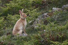 Rathlin Island golden hare by Colm Fitzpatrick LIPF, via Flickr House Rabbit Society, Animal Magic, My Ancestors, North Coast, Northern Ireland, Livestock, Hare, Kangaroo, Wildlife