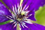 Clematisblüte - Blumen Blütenstand clematis Makro Pflanzen Sommer tamron Vorsatz lila Fotografie