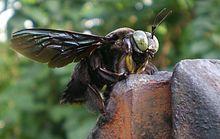 Carpenter Bee, Mindanao, Philippines, Garden Sculpture, Tropical, Outdoor Decor, Pictures, Animals, Cagayan De Oro