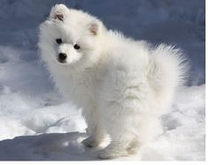 Looking for the best name for an American Eskimo dog?