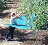 Catch fruit and nuts Citrus Trees, Fruit Trees, Farm Tools And Equipment, Pond Covers, Storage Tubs, Harvester, Cherry Tree, Growing Tree, The Struts